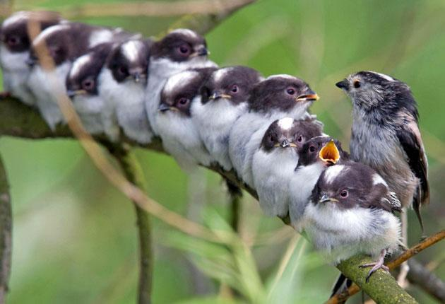 The long-tailed tit is sometimes described as 'a ball of fluff on a stick'
