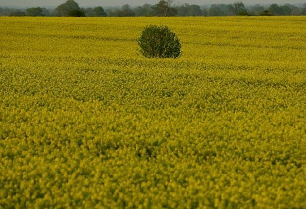 Oilseed rape plants in bloom near Tetbury, in Gloucestershire. Rapeseed (Brassica napus) has become one of the most popular crops in the UK because of its ease of cultivation