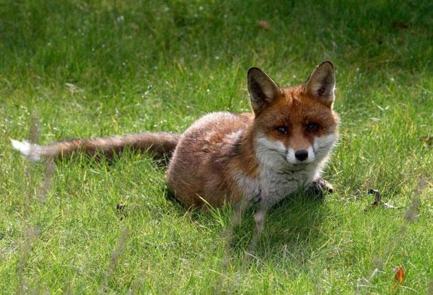 Brush to condemn: an urban fox stands accused of attacking nine-month-old twins in east London