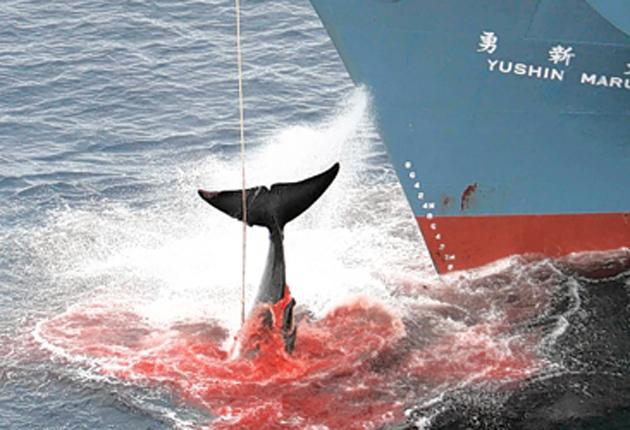 The Yushin Maru, a Japanese whaling ship harpoons its prey