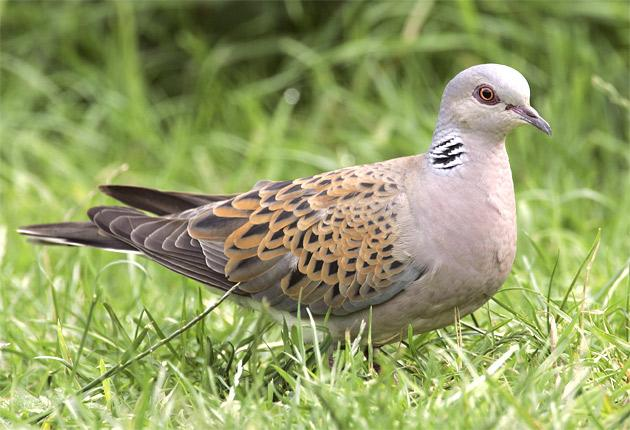 The number of turtle doves in Britain has fallen by 88 per cent since 1970