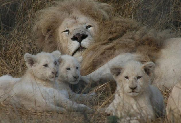 Pale and interesting: white lions were thought to be just a legend until 1938