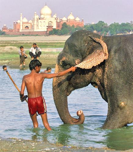 Of the 26,000 Asian elephants in India, 3,500 are working animals