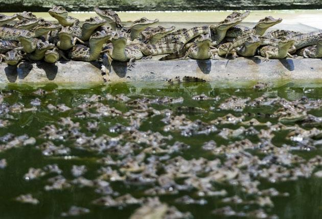 800 baby alligators – that adds up to an awful lot of teeth – were released into the wild