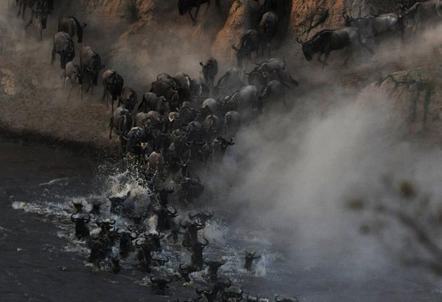 The wildebeest migration brings herds north