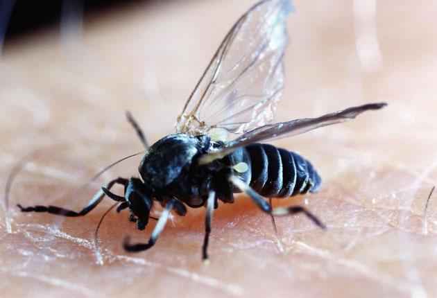 The increase of blackflies in towns may be due to a rise in the number of fountains in gardens