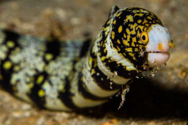 The snowflake moray eel is inquisitive, lively and beautiful