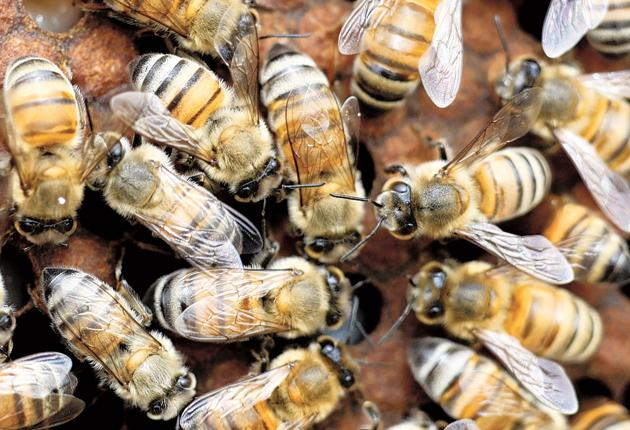 Honey bees have suffered dramatic declines from colony-collapse disorder
