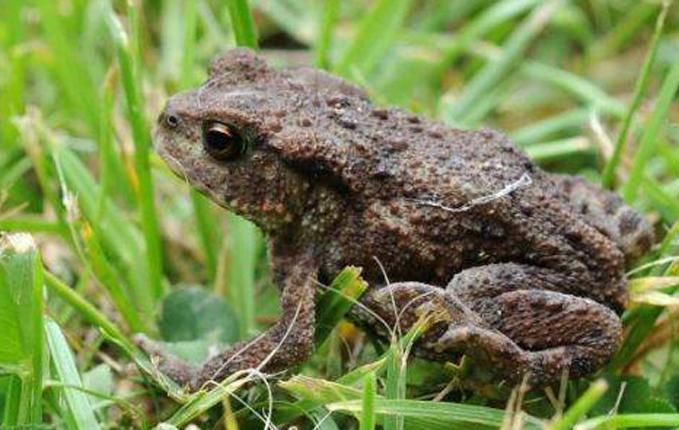 Infected frog populations have plummeted by 81 per cent