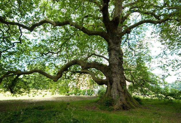 About 200 plane trees have been affected in London's Royal Parks alone.