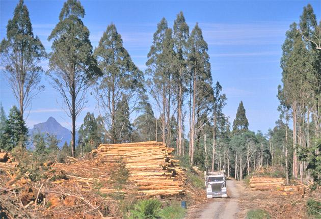 Logging companies have said they will stop clearing old-growth native trees