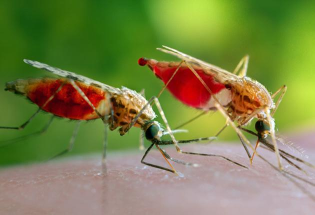 The malaria-carrying mosquito has split into two strains, M and S, raising fears that it may not be possible to control the disease using conventional methods