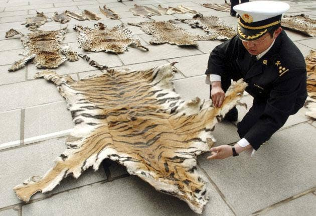 Tiger skin seized from a smuggler by customs officers in Lhasa, Tibet