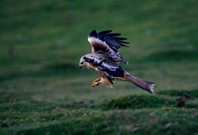 A Scottish Red Kite: Law enforcement officers in the developing world frequently lose their lives in the protection of rare plants and animals
