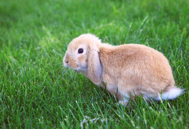 Mini Lops have a very easy-going nature, which is another reason why they make such great pets for young 'uns