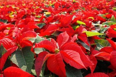 Poinsettia flowers ready for the holiday season