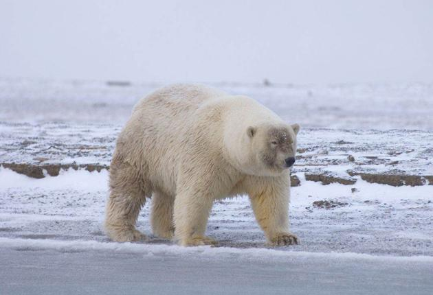 A possible polar/grizzly bear hybrid. The melting of the Arctic sea ice has forced polar bears into the territory of the grizzly