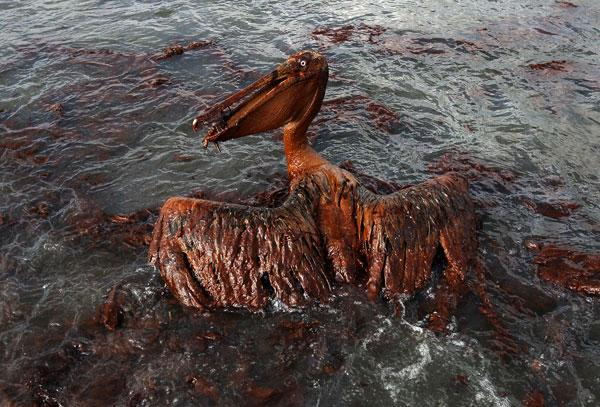 A brown pelican coated in heavy oil wallows in the surf on 4 June off the Louisiana coast