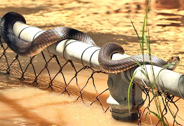 A brown snake sits on a fence during flooding in Rockhampton