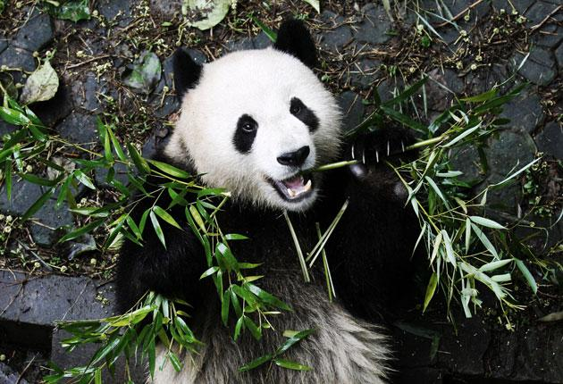 In perhaps the first example of panda diplomacy, the governor of Sichuan Province sent Lien Ho, an infant male, to London