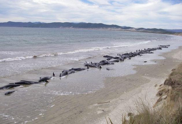 Pilot whales stranded on a remote beach on Stewart Island in New Zealand