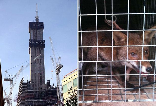 The intrepid visitor spent two weeks roaming free and surviving on scraps of food left by builders at the 288-metre Shard building