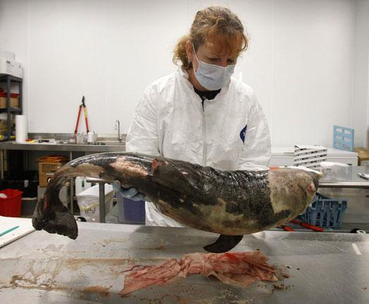 A veterinary technician examines a dead bottlenose dolphin found on Ono Island, Alabama
