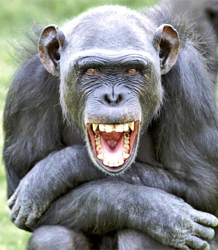 Chimpanzee that!: Chimps use laughter for social bonding