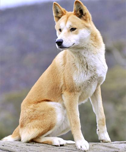 About 200 wild dingoes remain on Fraser Island in Queensland
