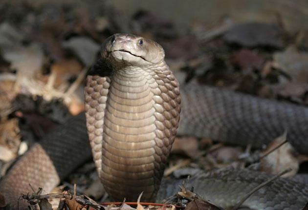 The Egyptian cobra is said to be able to kill a human in 15 minutes