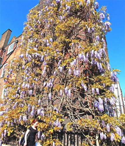 April sunlight shows off the wisteria in London