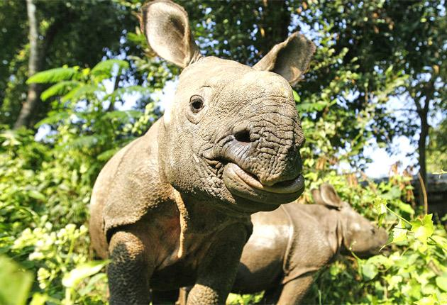 The horn of the rhino is valued as a supposed sexual stimulant