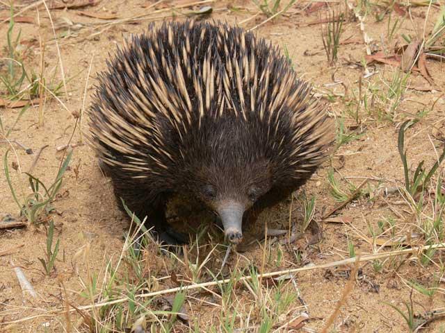 Prickly customer: Few mammals are odder than an echidna