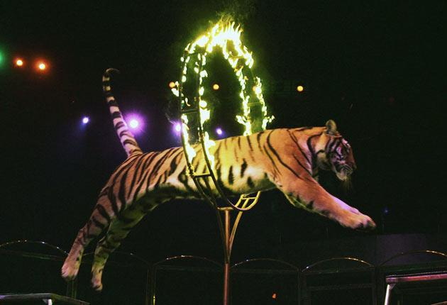 A tiger of Hangzhou Sapphire Circus jumps through a fire hoop