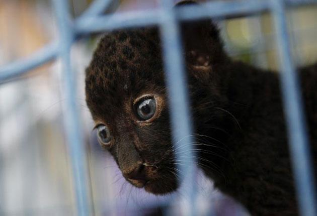 A two-month-old leopard cub hidden in the man's luggage