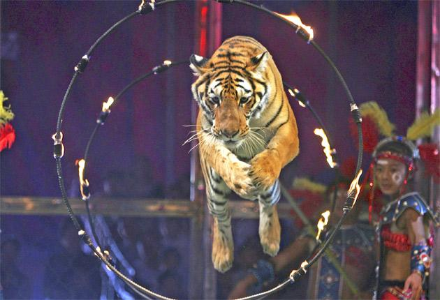 Campaigners want wild animals banned from performing circus stunts
