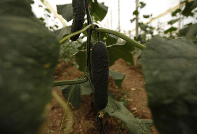 The German authorities have yet to discover where the cucumbers carrying the fatal bacteria come from