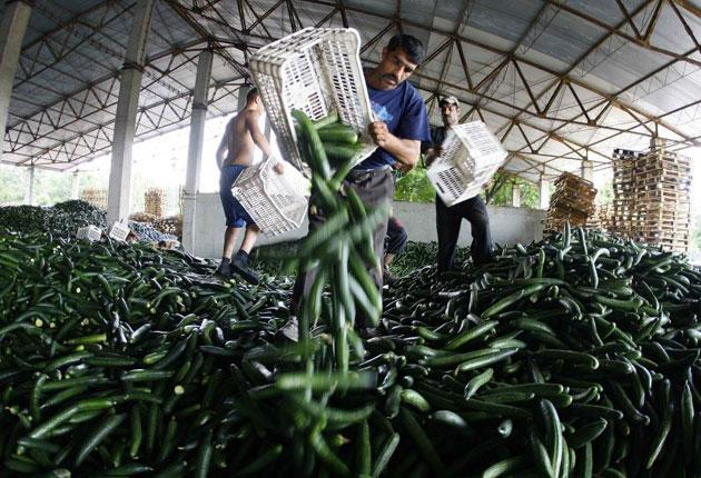 Workers throw away cucumbers to be destroyed at an agriculture facility near Bucharest