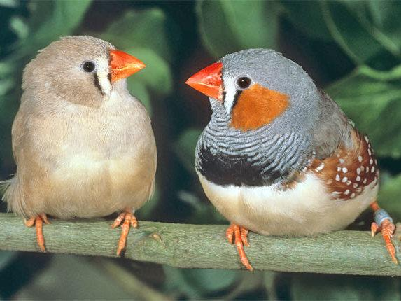 A German study suggest that 'cheating' among zebra finches may be genetic