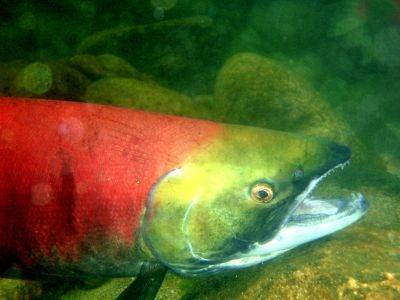 The Fraser River sockeye salmon