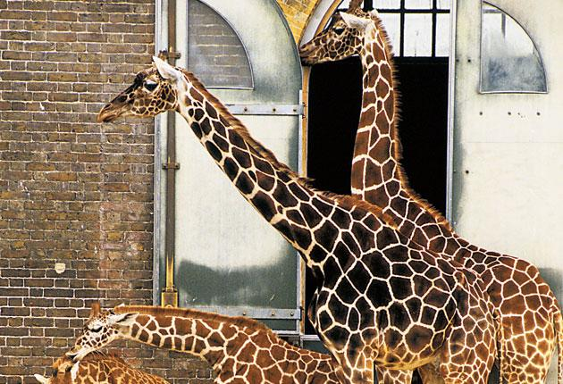 Fascinating creatures: the giraffes at London Zoo are adored by visitors of all ages