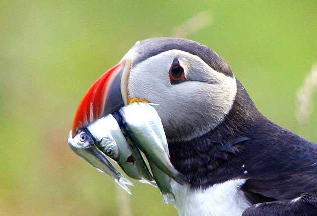 Like many breeding species of seabirds, the puffin is suffering severe food shortages because of the decline in their staple diet of sand-eels