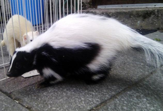 Handout photo issued by Cumbria Police of Flower the skunk aged two who went missing from her home on Hayclose Crescent in Kendal, this morning.