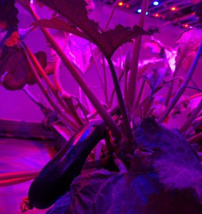 Crop a load of this: Vegetables are grown using UV light at a futuristic Dutch farm