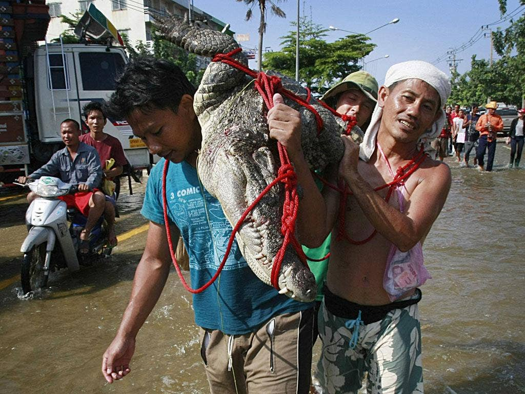 Residents carry a crocodile caught in a flooded area north of Bangkok