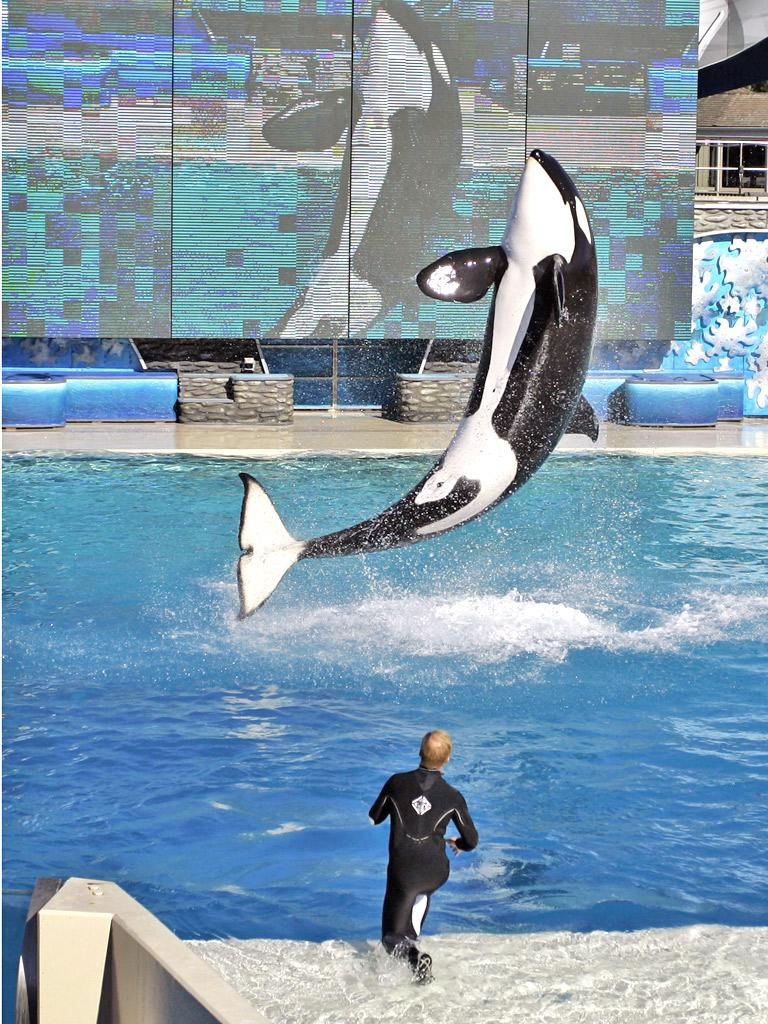 Killer whale Kasatka performs during a show at SeaWorld in San Diego