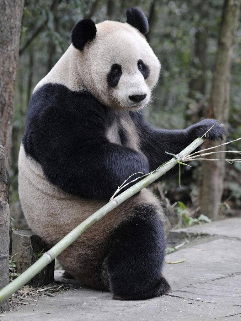 Edinburgh Zoo will pay China £600,000 a year for the pandas