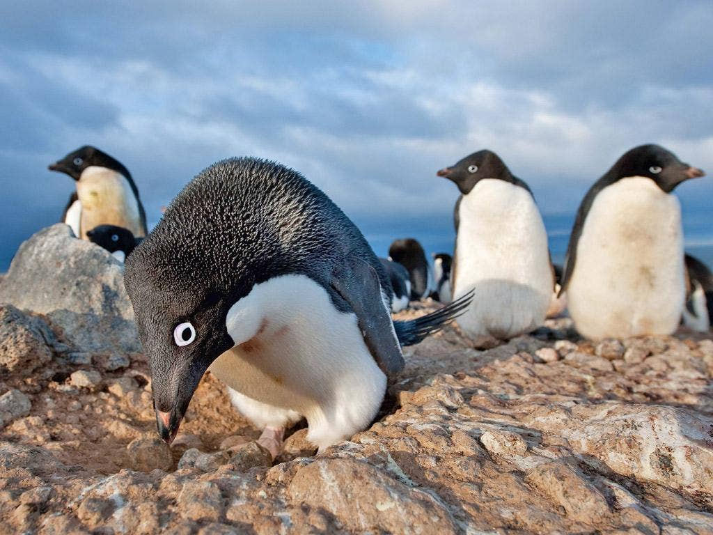 Attenborough on Adélie penguins: 'It's impossible not to be entertained by them. Although for Mark Smith, who filmed them for four months in a tent, I dare say the joke ran a bit thin.'
