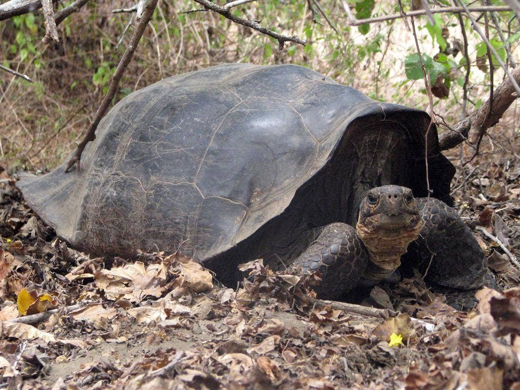 The Giant tortoise of the Galapagos Islands.