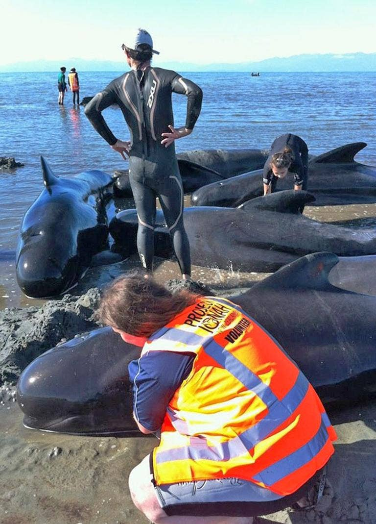 Stranded pilot whales are helped by volunteers at Farewell Spit on New Zealand's South Island